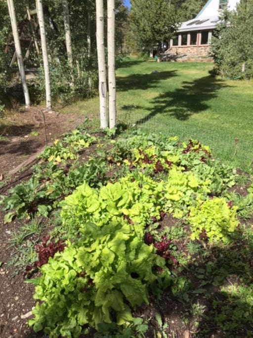 Out door lettuce garden with home in background