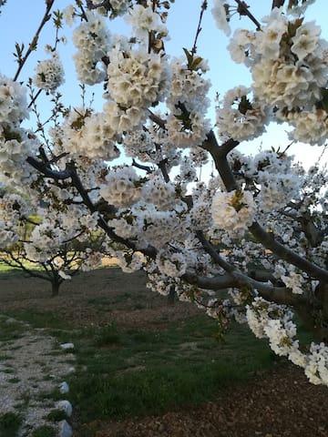 Les cerisiers du jardin