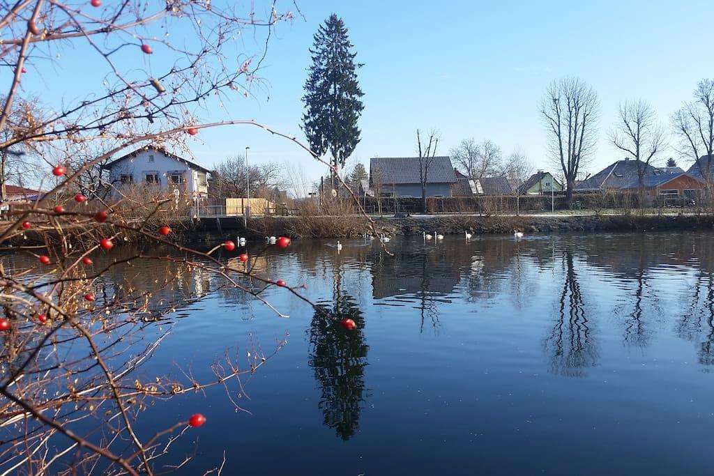 Schwäne auf der Mur Swans at the river Mur
