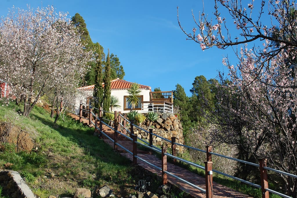 Almond trees blossoming