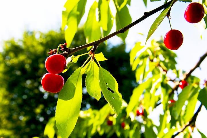 Cherries in the gareden