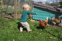 Feeding the chickens.