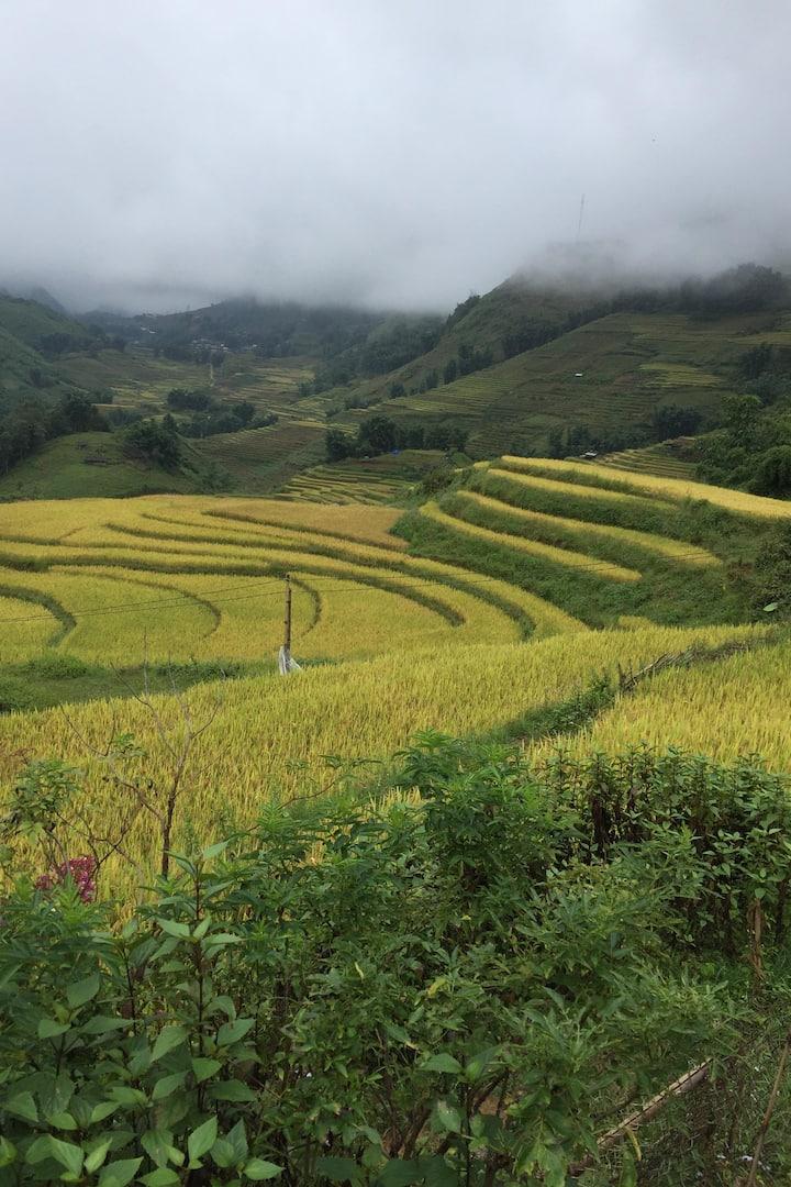 Rice Havesting