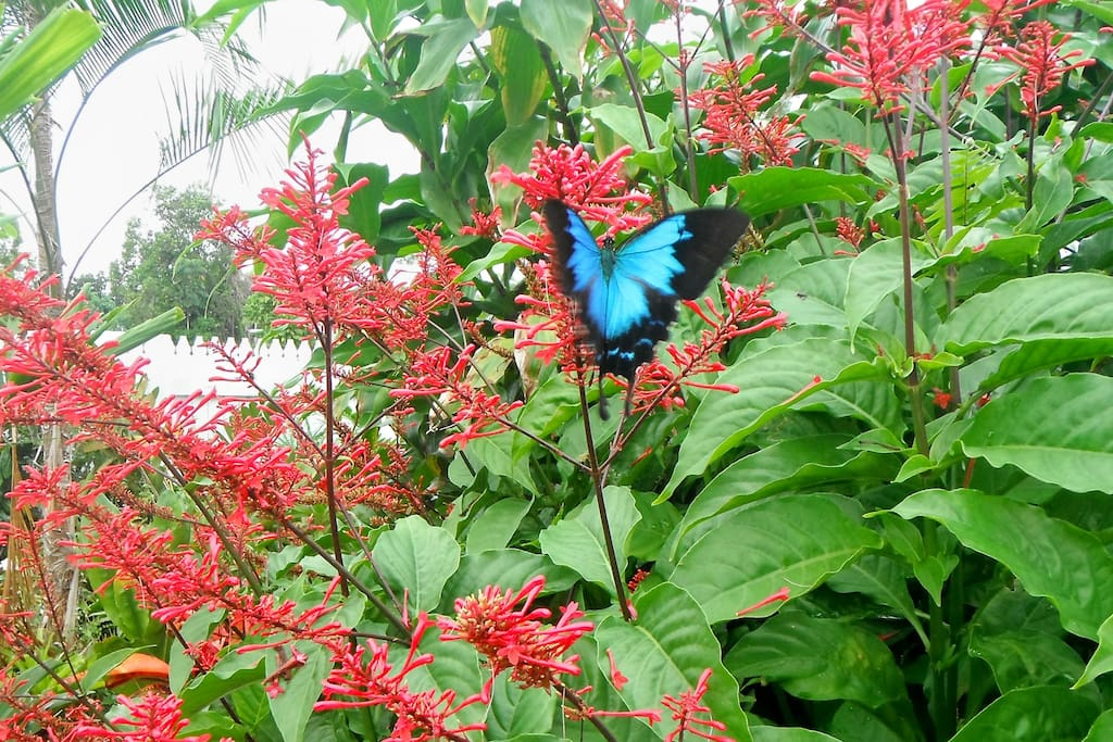 Will you be lucky enough to see the blue Ulysses butterfly