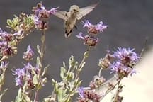 Sage in bloom with hummingbird       (photo by Airbnb guest)