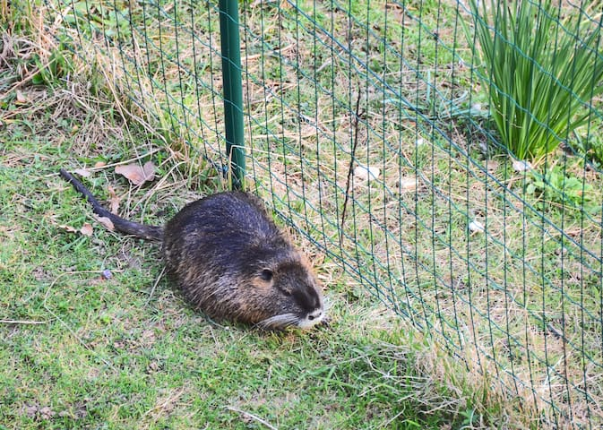 nutria comes to visit us :)