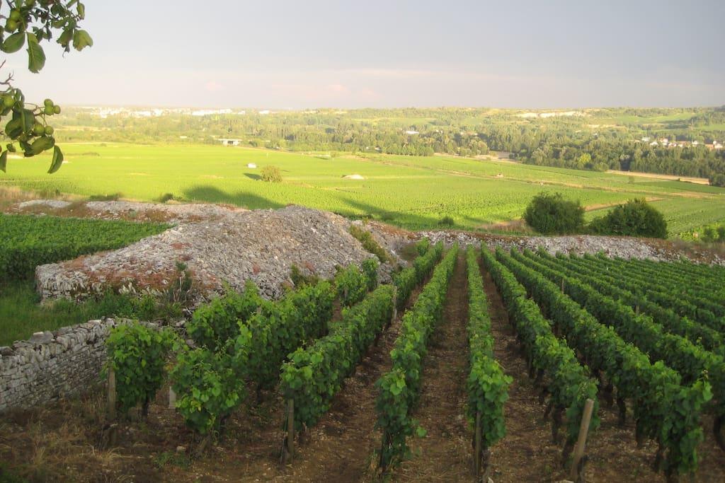 Aluze vineyards