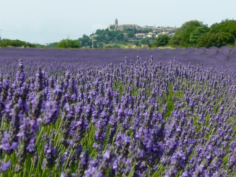 Lavandes en juin au pied du village (lavender field in June)
