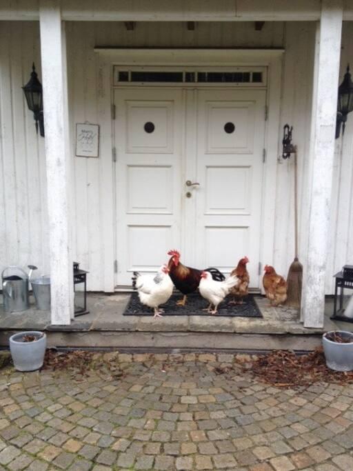 Frittgående høner og kortreiste egg til frokost
