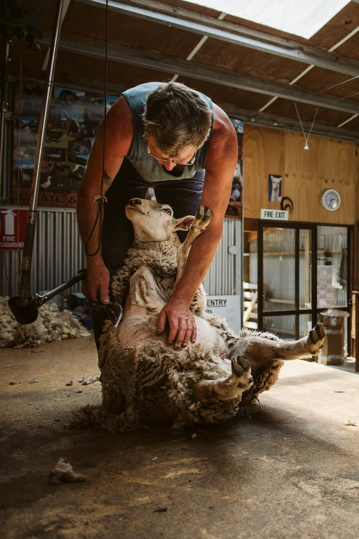 Sheep Shearing Demonstartion
