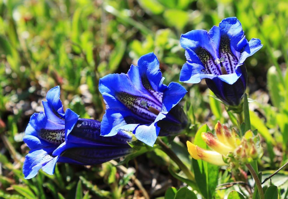 Alpine flowers