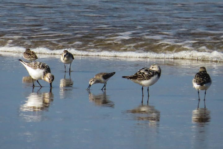 Sanderlings on the beach.