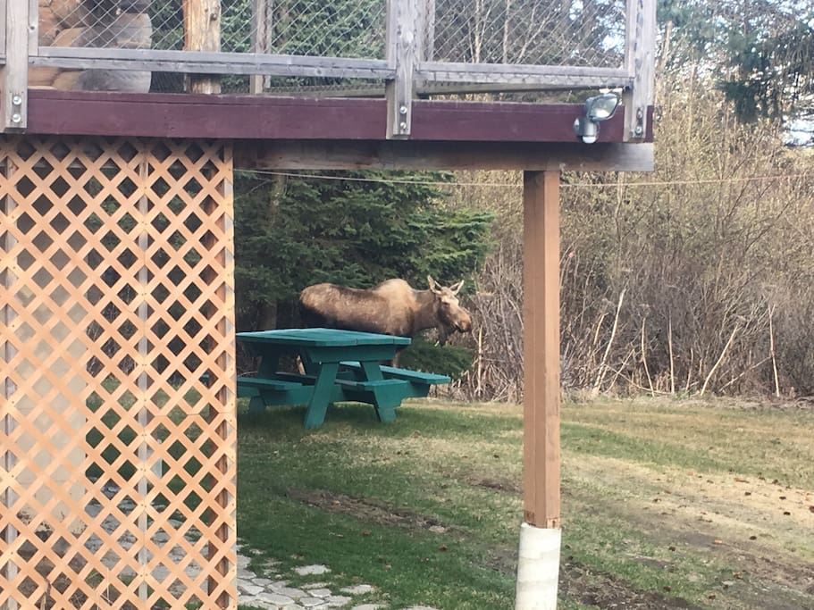 Moose in front yard