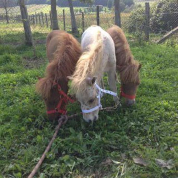 Miniature horses residents