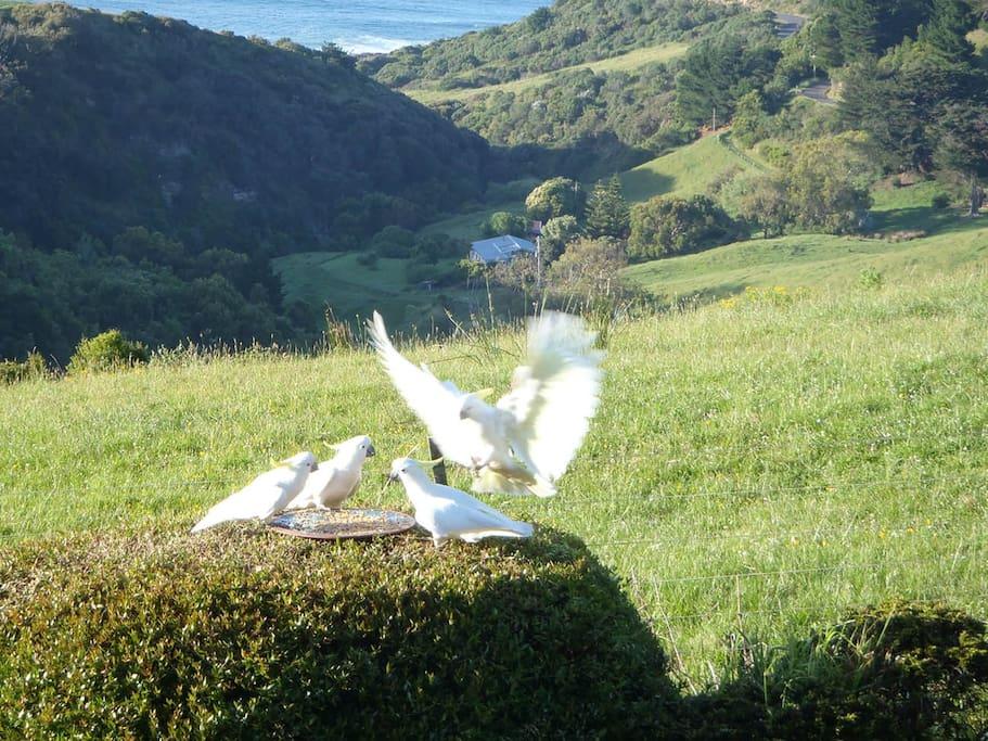 Cockatoos are regular visitors