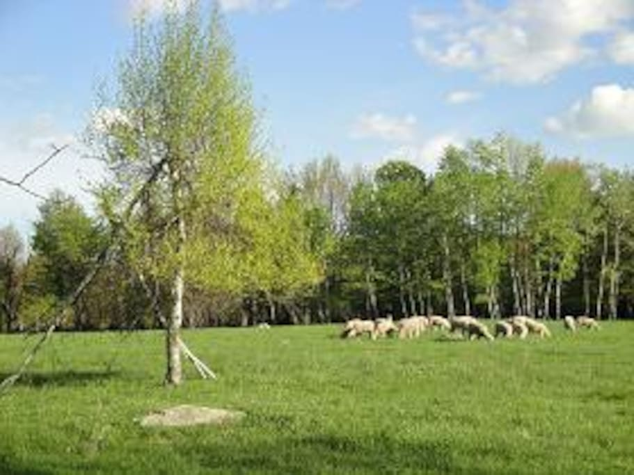 Spring Lambs in Pasture - Chomp Chomp Chomp :) Anyone care to help sheer deem??? We can teach interested guests.