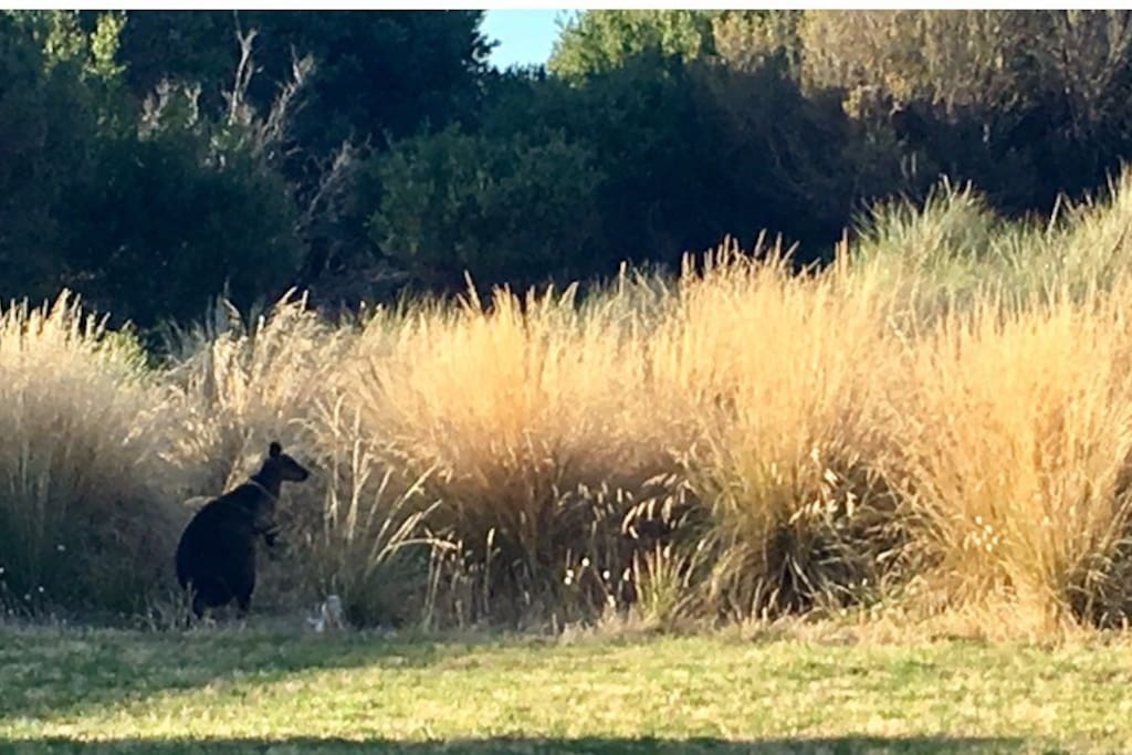 Watch the kangaroos in the grass from the porch