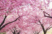 Cherry Blossoms at Brooklyn Botanical Gardens - a wow moment in spring !