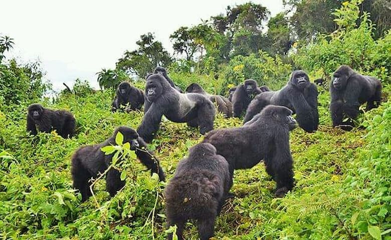 Gorilla View Point