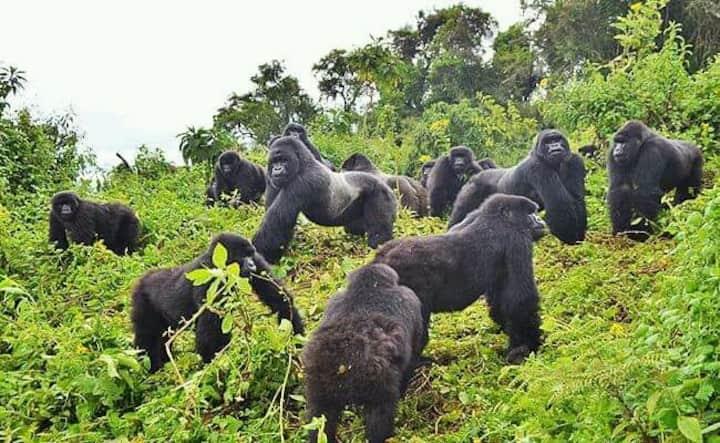 Gorilla View Point