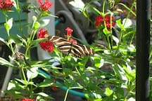 The FL state butterly is the Zebra pictured here.  Seasonally in front yard attracted by certain plantings.