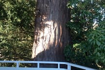 There're some beautiful - protected - trees on the property.  This sequoia is adjacent the deck.