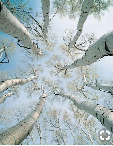 White Birch Trees on our property