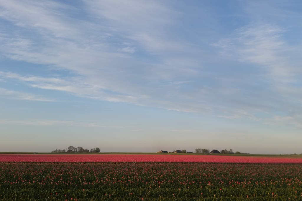More tulip fields in springtime at five minutes biking from the house