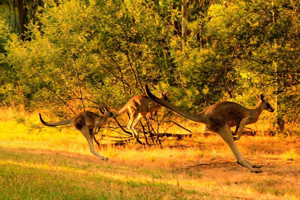 KANGAROOS AT SUNSET. 20 MINUTES FROM HERE.