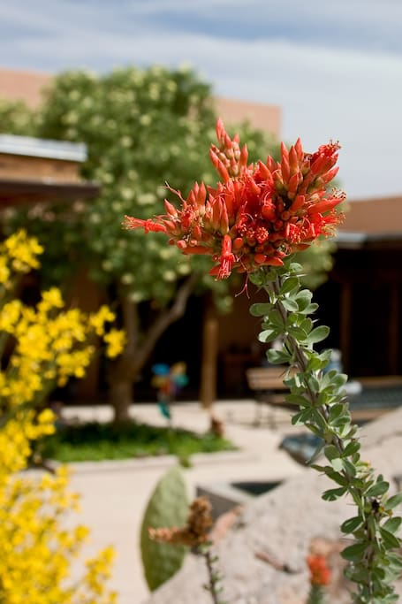 Courtyard with desert flowers in bloom (April)