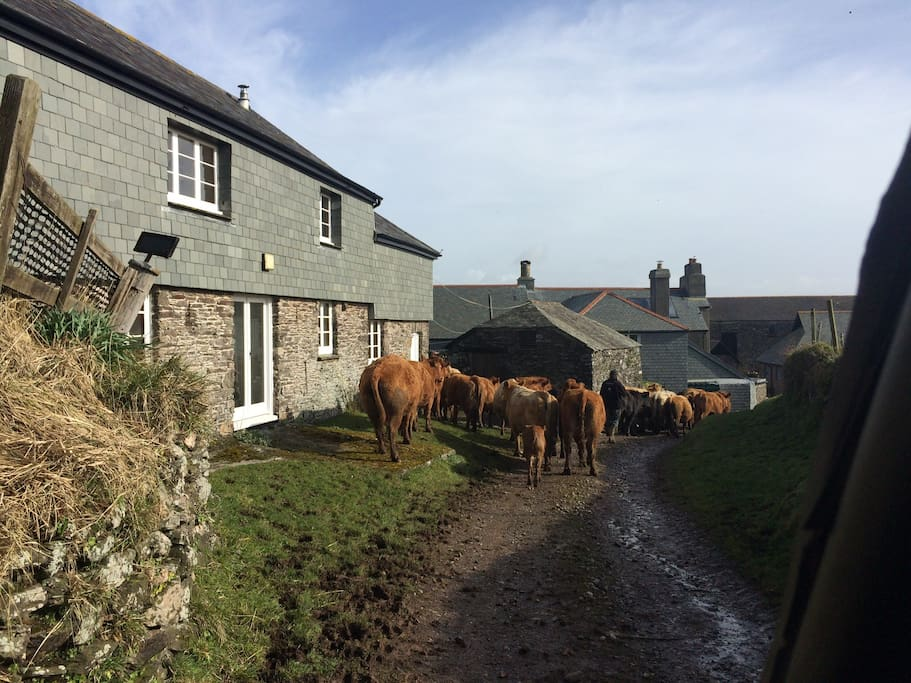 Cattle walking past with Farmer Phil