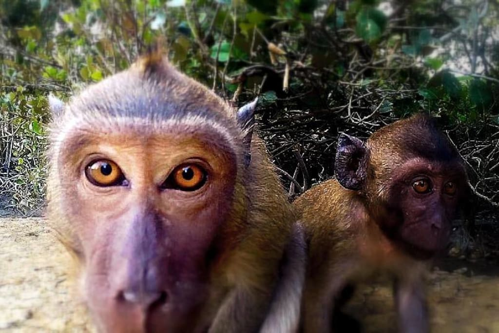 Meet Mangrove Monkeys