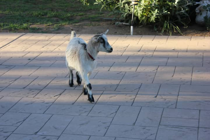 Private Suite at Organic Goat Farm
