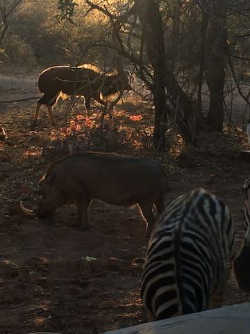 Zebra, warthog, Nyala Bul