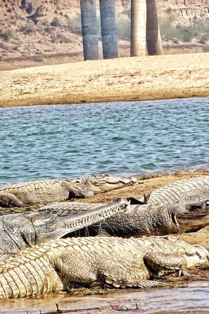 Gharials & Marsh Crocodile - one big fam