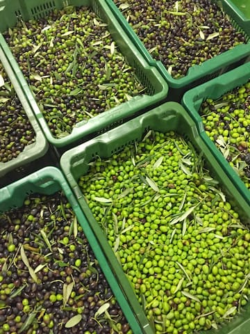 Olives are waiting to be pressed and became Organic Extra Virgin Olive Oil. The best Olive Oil is made with different varieties and each variety has his own taste, acidity and color