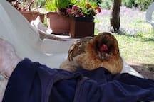Chicken taking a Nap..
