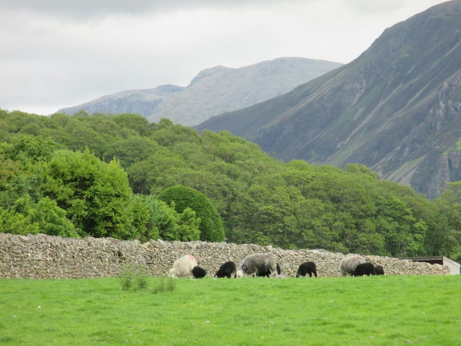 The view from the garden - traditional herdwick sheep and Scafell in the distance