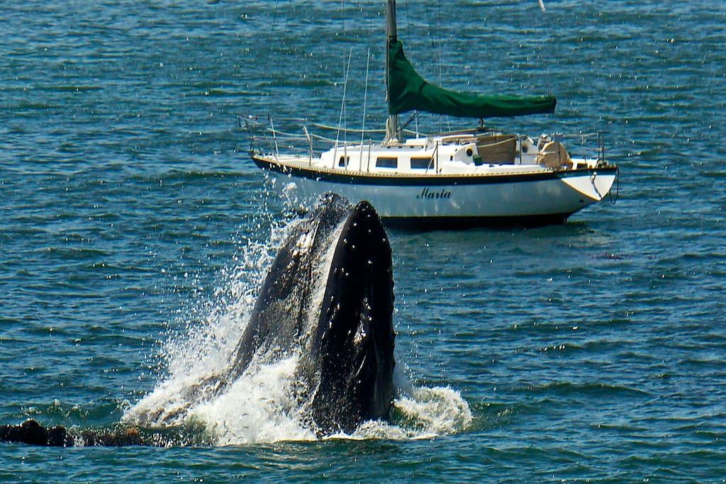 Whales in Avila Bay