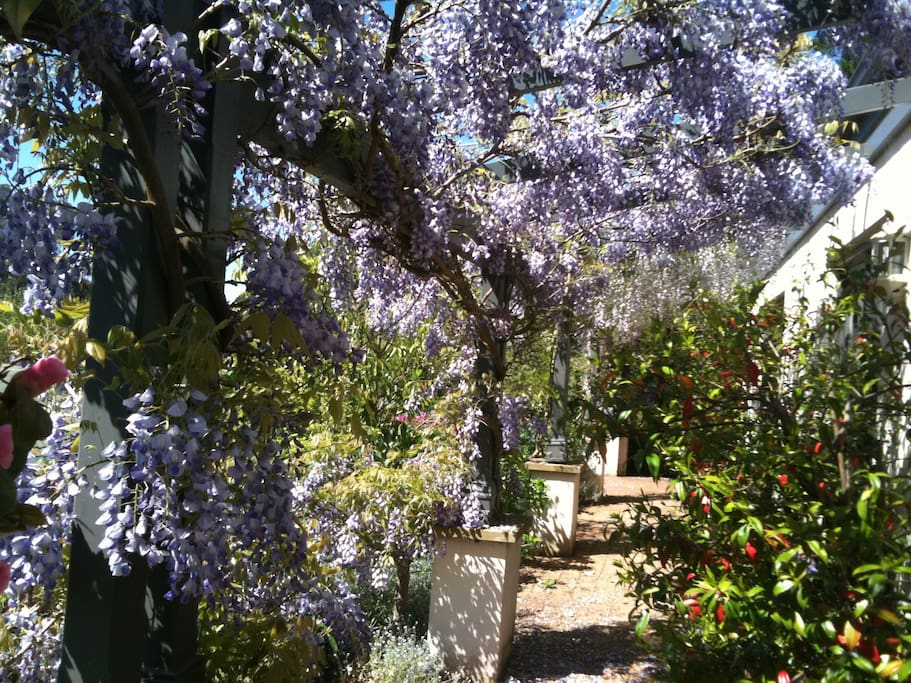 October wisteria on the long front terrace