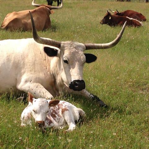 Bluff Creek Ranch: Longhorns & lazing