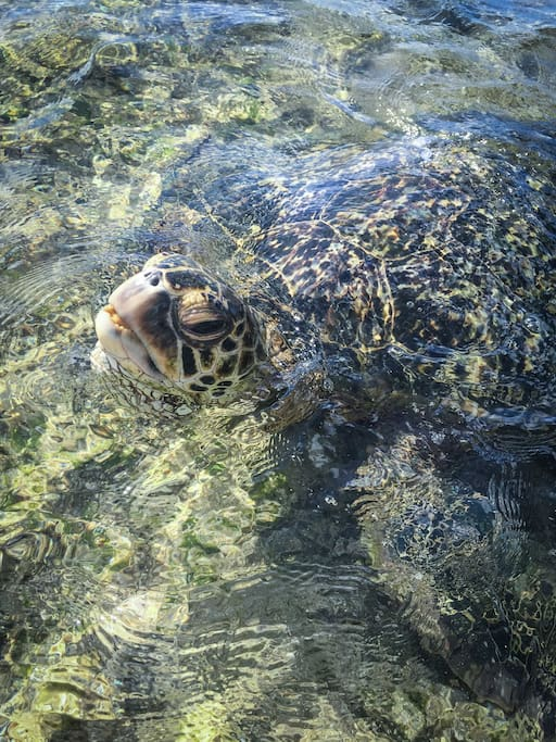 Meet the turtles on the North Shore !