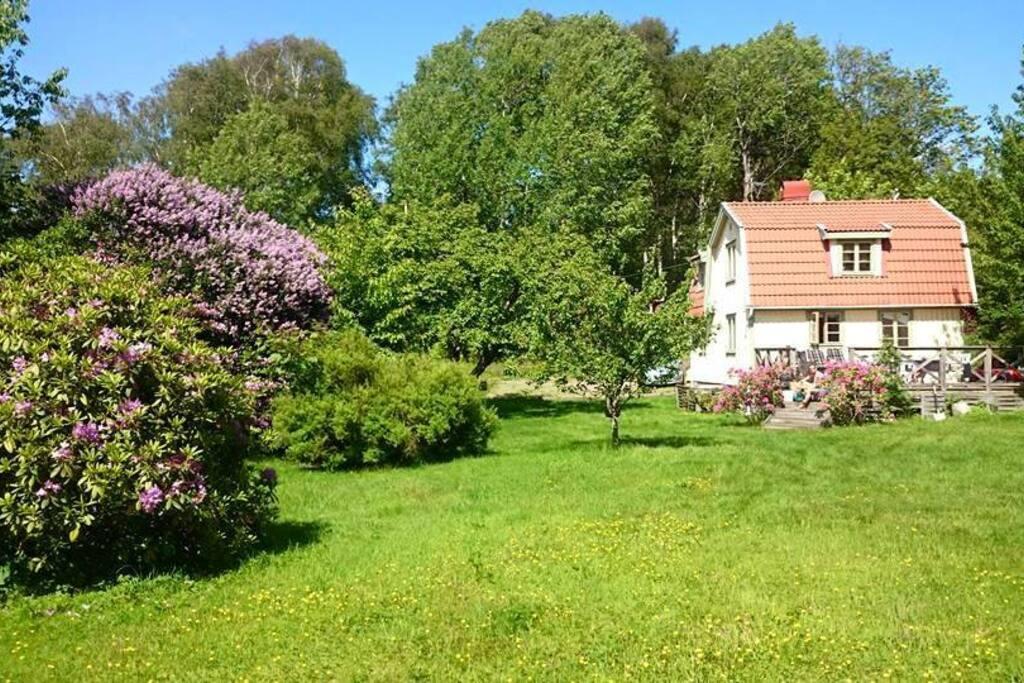 Rhododendroen blomster i juni