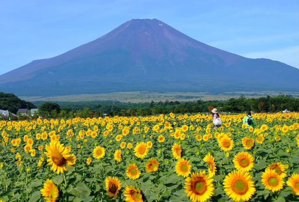 Mt Fuji and Sunflower in summer.