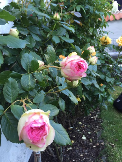In june and july the garden is filled with roses.
