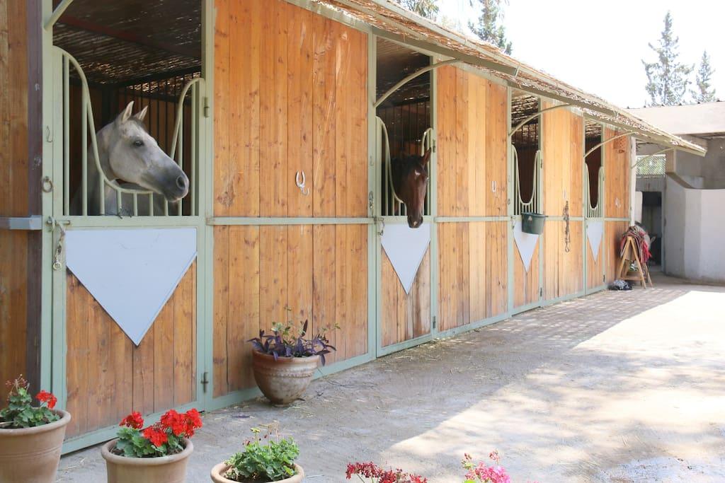 Ecurie privée Marrakech Equitation : reprise et stages sur mesure tous niveaux en dressage et saut d'obstacles donnés pr cavalier pro.Cavalerie et installations professionnelles. Balades a cheval.