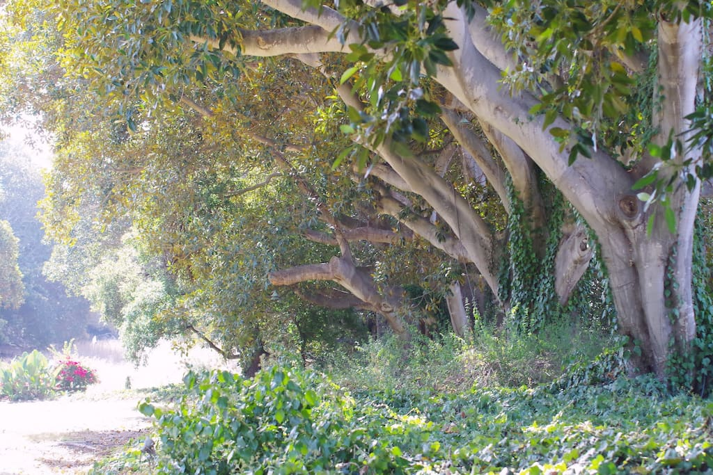 Grove of Fig trees