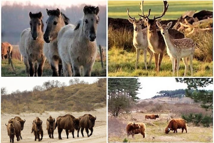 In 'Zuid-Kennemerland National Park' (2.5km) you can enjoy the coastal dunes, its beautifull and special flora and fauna, by foot or bike.  Heards of Shetlandpony's, Scottish highlanders, dears and some European Bisons (Wisents) are wandering around