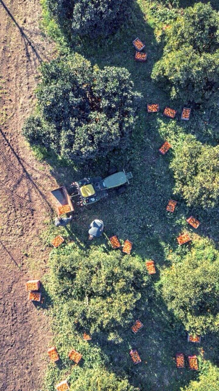 Foto aerea recogida naranjas