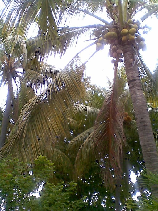 Coconut Trees In the yard, fresh water hanging!
